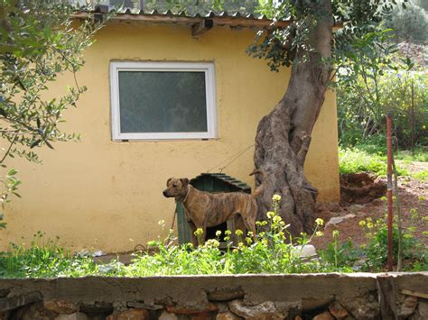 dog in the backyard cretan hound dog in the yard photo and wallpaper beautiful cretan hound dog in the