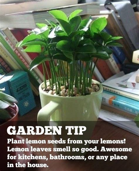 how to plant lemon seeds from your lemon make the whole room smell good dekoration