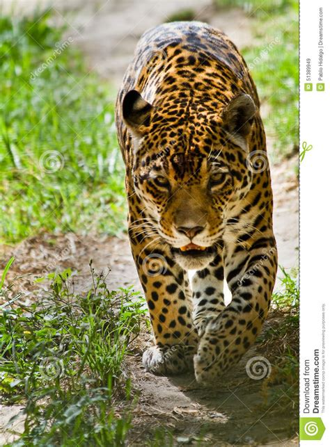 ver imagenes jaguar animal portrait of beautiful jaguar walking stock photo image