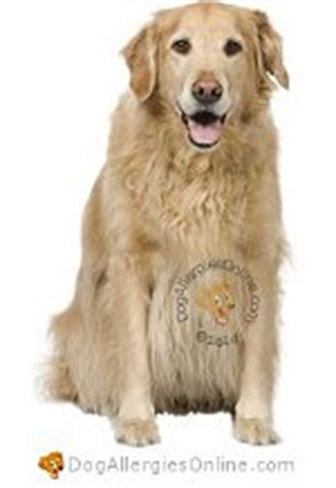 allergies in golden retrievers allergy prone breeds