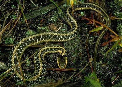Garter Snake Alabama Photo Gallery U S National Park Service