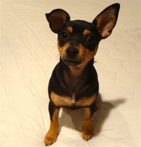 min pin chihuahua mix puppies for sale chihuahua miniature pinscher breeds picture breeds picture