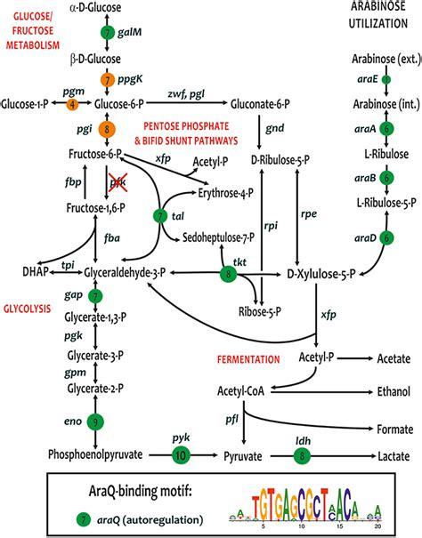 frontiers transcriptional regulation of mononuclear frontiers transcriptional regulation of carbohydrate