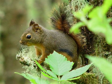 animal information squirrel facts