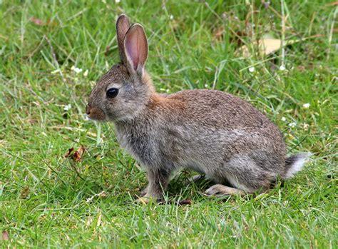 rabbit images rabbits habits diet other facts