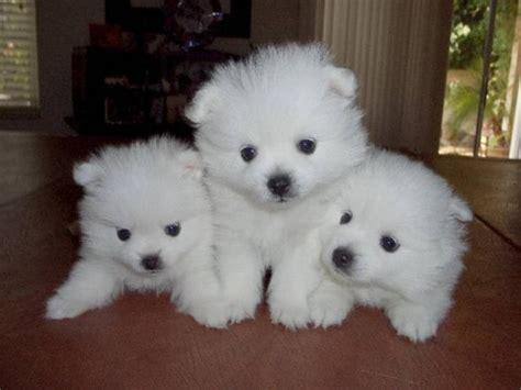 eskimo dogs adopt an american eskimo miniature breeds picture