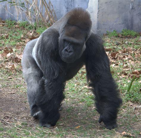 File:Western lowland gorilla (4531337254).jpg