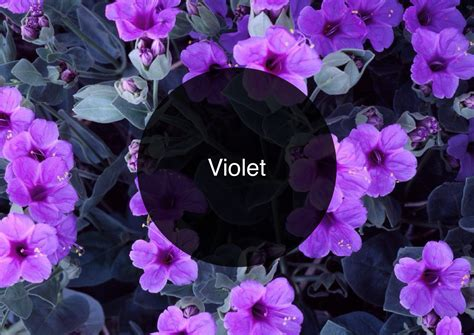 violet s the candy perfume boy s guide to violet the candy