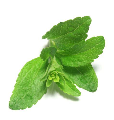 Stevia Pflanze Verarbeitung 4864 by Stevia Verarbeiten 187 Tipps Zur Verwendung Verarbeitung