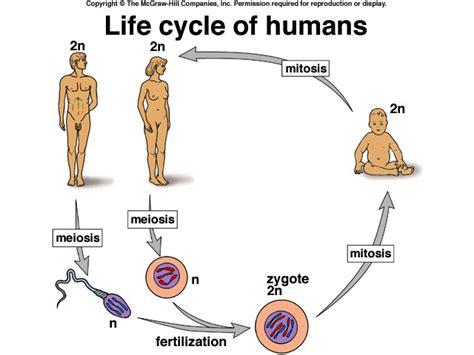 human cycle diagram cycle cycles of