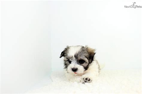 malshi puppies for sale near me mal shi malshi puppy for sale near los angeles california 9275a26d 0771