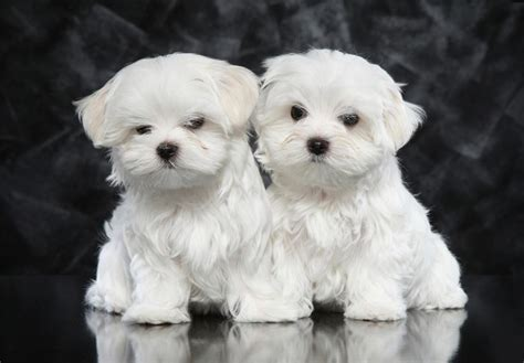 maltese puppies maltese puppies for sale akc puppyfinder
