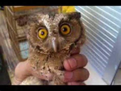 barn owl cara melatih burung hantu harga burung hantu celepuk buzzpls