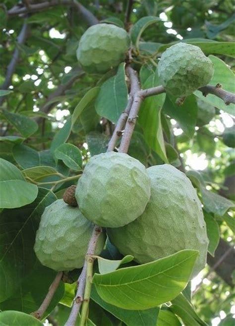 anonas fruit tree anonas fruits