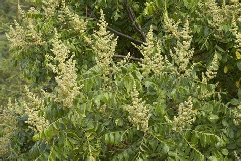 sumac trees  shrubs information
