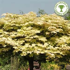 decorative trees for the home acer pseudoplatanus brilliantissimum buy sycamore tree buy acer