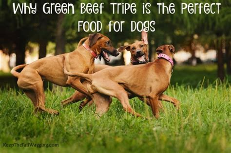 green tripe for dogs why green beef tripe is the food for dogs keep the wagging