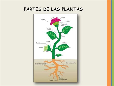 olguchiland las plantas ii reino vegetal