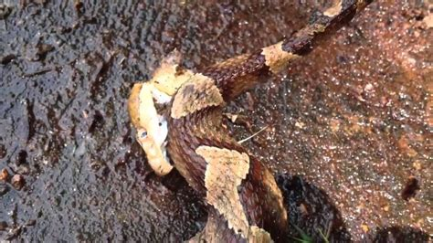 copperhead bite copperhead snake bites itself after decapitates it most watched today