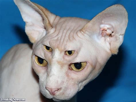 sphinx cat with multiple eyes pictures freaking news
