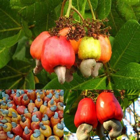 fruit similar to the 25 best guava juice ideas on pinterest pineapple