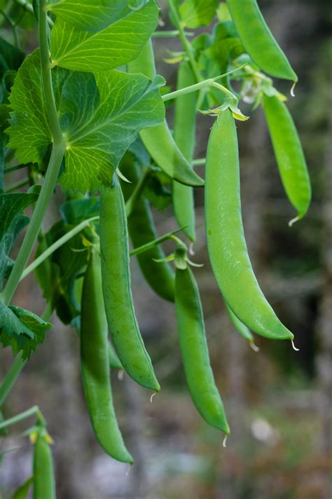 types of garden peas container garden peas growing and caring for peas in pots