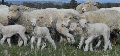 austrailian sheep new merino sheep breed baregamerino