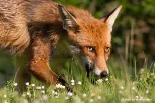 Rotfuchs Welpen Vulpes Vulpes Red Fox Pups Fotos Bilder » Home Design 2017