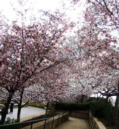 pictures of cherry blossom trees cherry blossom tree by sk8tpnkz24 on deviantart