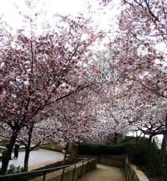 blossom tree cherry blossom tree by sk8tpnkz24 on deviantart