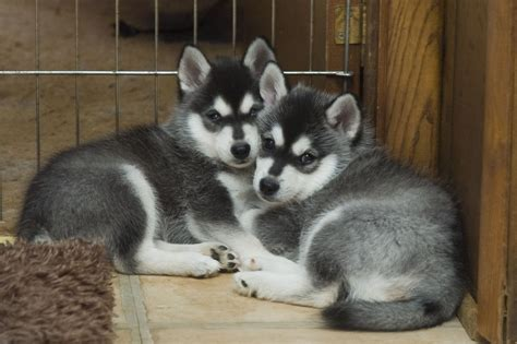 alaskan klee puppies alaskan klee puppies rescue pictures information temperament