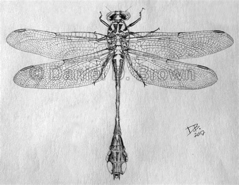 Realistic Dragonfly Drawing Insect Drawings Clip Art
