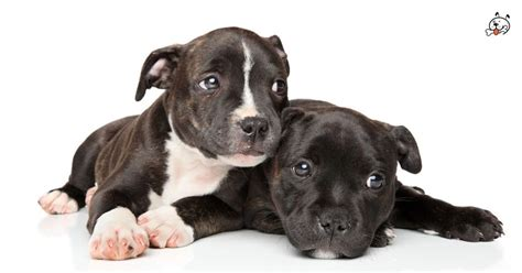 staffy puppies for sale staffordshire bull terrier puppies for sale puppies 4 all