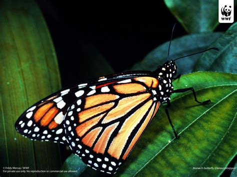 monarch butterfly monarch butterfly wallpaper amazing wallpapers