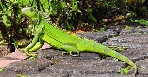 imagenes de iguanas rojas cuidados b 225 sicos para una iguana de mascota emedemujer