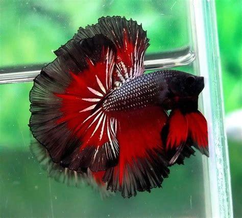 betta colors amazing colors of betta fish 16 photos infomazza