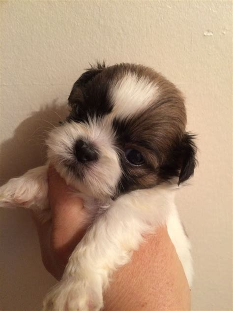 breed standard shih tzu kc standard shih tzu puppies for sale hartlepool county durham pets4homes