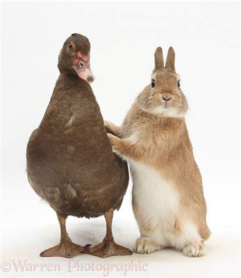 25 rabbit duck ideas duck rabbit chicken chicken coops