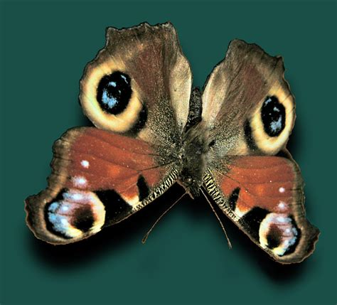 pattern formation and eyespot determination in butterfly wings butterfly eyespots