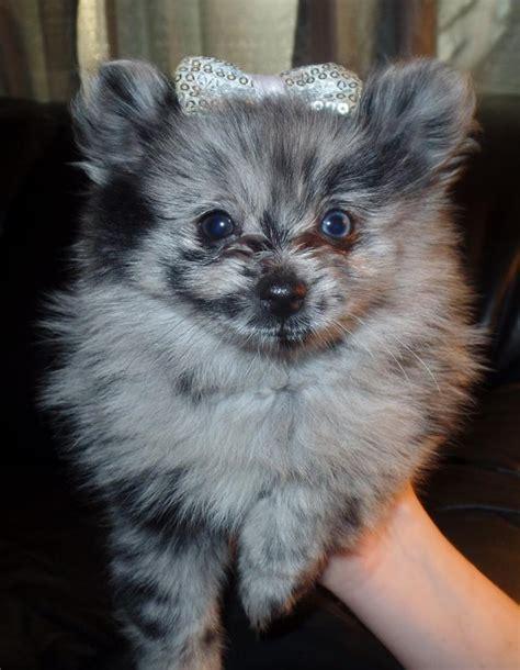 pomeranian breeders in oklahoma pomeranian puppies oklahoma jm pomeranian s