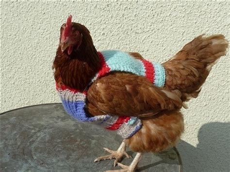 pattern for jumper for chicken chickens wearing sweaters maret 2014 lowongan kerja 2014