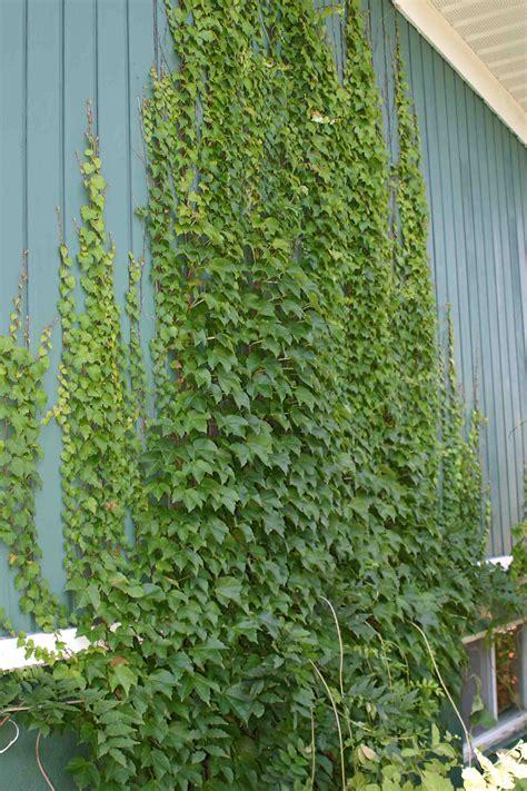 wall climbing plants for your garden virginia creeper laidback gardener