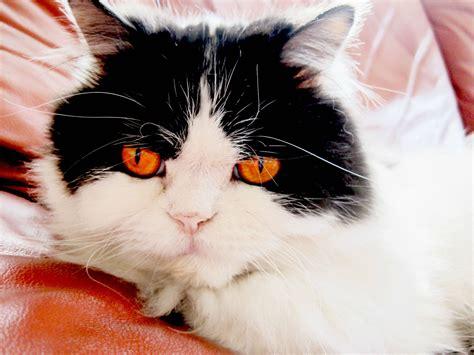 paw bleeding cat paws bleeding myideasbedroom