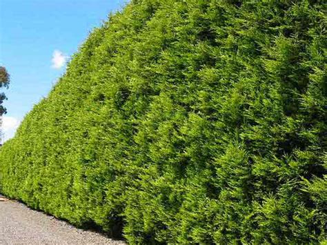 cupressus castlewellan gold conifer   plants