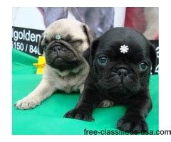 pugs for sale in tucson adorable ckc pugs puppies for rehoming animals tucson arizona announcement 39505