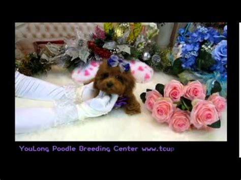yorkie puppies for sale birmingham alabama poodle puppies for sale in birmingham alabama al montgomery tuscaloosa