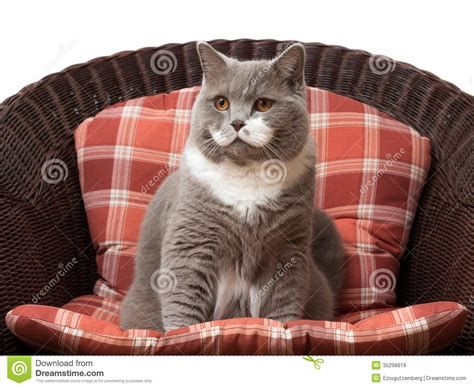 Cat On The Chair by British Shorthair Cat On The Chair Royalty Free Stock