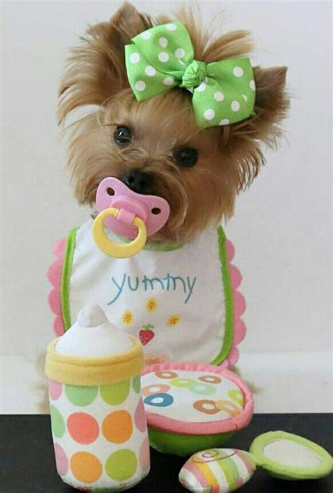how often should a yorkie be bathed 25 best ideas about yorkie dogs on teacup yorkie teacup and