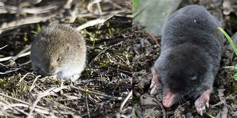 the difference between moles and voles colonial pest control