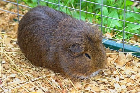 best guinea pig bedding best bedding for guinea pigs great odor control comfort